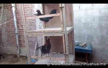 Parral: aumentan quejas por animales de granja en viviendas de la zona urbana - El Diario de Chihuahua