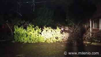 Árbol cae y afecta suministro eléctrico en una colonia - Milenio