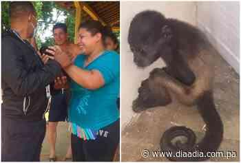 Rescatan cría de mono aullador en Parita - Día a día