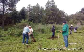 Con más de 3 mil árboles reforestan Nurio, en Paracho - El Sol de Zamora