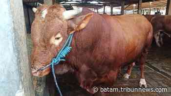 Limousin hingga Ongole, Inilah 7 Jenis Sapi yang Ada di Indonesia, Kebanyakan dari Luar Negeri - Tribun Batam