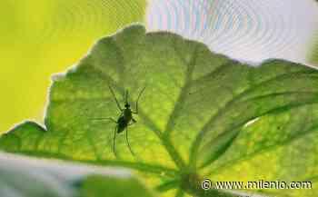 Dengue acecha en Altamira; 20 colonias registran casos - Milenio