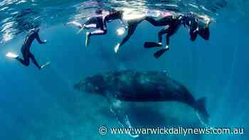 Woman crushed between two whales - Warwick Daily News