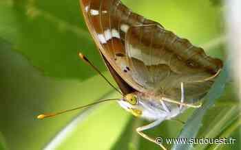 Cognac : un papillon encore jamais vu au parc François-Ier - Sud Ouest