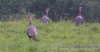 Summer turkey sightings provide crucial info for NH biologists - The Union Leader