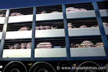 Petition launched against transporting animals in extreme heat - The Brussels Times