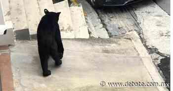 Peligran los osos negros del Parque Chipinque Nuevo León - DEBATE