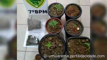 PM recebe denúncia e encontra plantas de maconha em residência em Rondon - ® Portal da Cidade | Umuarama