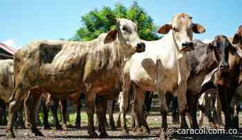En Calamar y El Guamo- Bolívar reciben repoblamiento bovino - Caracol Radio
