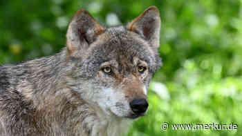 Garmisch-Partenkirchen: Fünf tote Schafe gefunden - Diskussion um den Wolf - Merkur.de