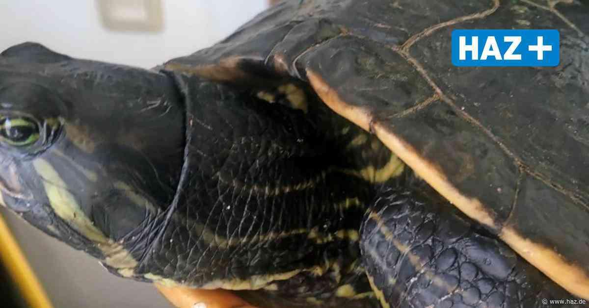 Isernhagen: Schildkröte aus dem Altwarmbüchener See bekommt ein neue Zuhause - Hannoversche Allgemeine