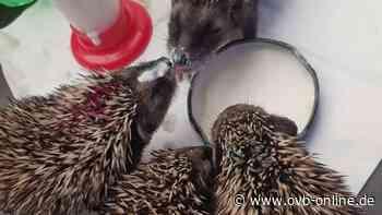 Pflegefamilien mit Garten für junge Igel gesucht – Tierschutzverein Bruckmühl - ovb-online.de