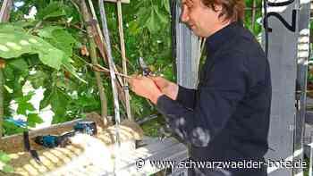 Nagold: Platanen verwachsen zu einem Organismus - Nagold - Schwarzwälder Bote