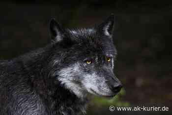 Wolfsindividualisierung liegt vor – bei Altenkirchen sesshaft - AK-Kurier - Internetzeitung für den Kreis Altenkirchen