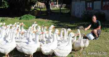 Viehfutter wird knapp: Gänse müssen auf Mais umsteigen | Lokale Nachrichten aus Lage - Lippische Landes-Zeitung
