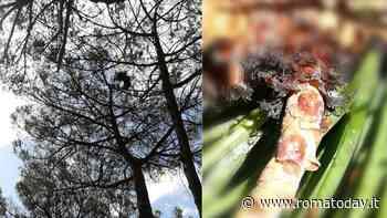 """Pini di Roma, è allarme cocciniglia: """"Già colpiti l'80% degli alberi"""""""