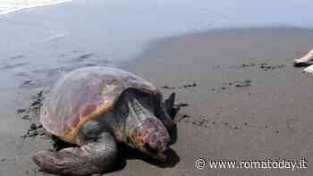 Tartaruga caretta caretta depone uova in spiaggia: recinto e divieto di transito per far nascere i piccoli in sicurezza