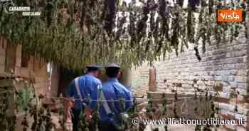 Gioia Tauro, carabinieri sentono intenso odore da un capannone e scoprono 7mila piante di marijuana… - Il Fatto Quotidiano
