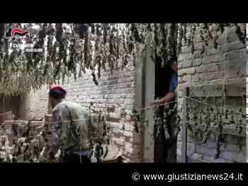 Maxi essiccatoio di marijuana scoperto nella Piana di Gioia Tauro, carabinieri sequestrano 7mila piante | Video - Giustizia News 24