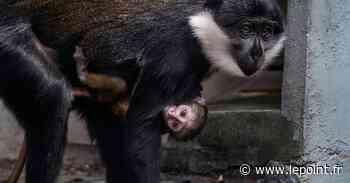 Naissance d'un singe cercopithèque de l'Hoest au zoo de Mulhouse - Le Point
