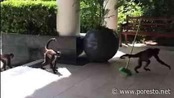 """Monos """"limpian"""" hotel de Playa del Carmen: VIDEO - Por Esto"""