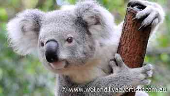 Councillor calls for update on shire's koala management plan - Wollondilly Advertiser