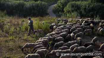 Barcelona planea permitir los rebaños de ovejas en Collserola para prevenir incendios - La Vanguardia