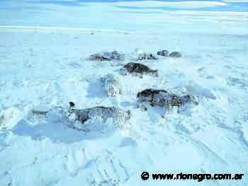 Línea Sur: salen al rescate de ovejas y chivos sepultados por grandes nevadas - Diario Río Negro