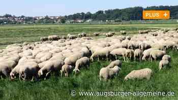 Wolf in Aichach-Friedberg: Bauern haben Angst, Tiere auf der Weide zu lassen - Augsburger Allgemeine