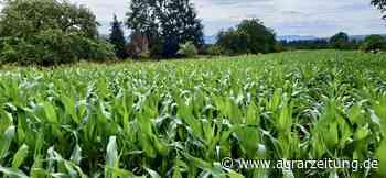 Ernte 2020 : Regen unterbricht Ernte in Hessen - agrarzeitung online