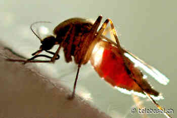 Kombination aus warmem Wetter und Regen freut Stechmücken - Telebasel