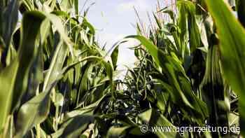 Getreidemärkte: Regen sorgt für Ausverkauf - agrarzeitung online