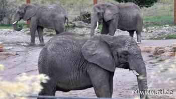 Erstmals Elefantennachwuchs im Zoopark Erfurt - RTL Online