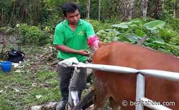 Cerita Mustopa, Pemilik Sapi Ongole yang Dibeli Presiden di Pulau Buru - beritabeta