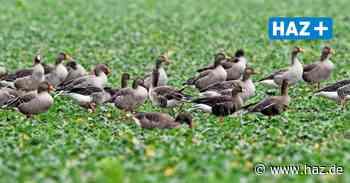 Niedersachsen will umstrittene Gänsejagd auch auf geschützte Arten ausweiten