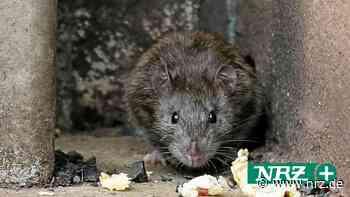 Bürger in Dinslaken und Voerde klagen über Probleme mit Ratten - NRZ