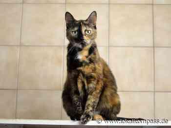 Bildergalerie - Eine Mieze zum Verlieben: Tricolor-Kätzchen Sheyla sucht im Tierheim Marl aber noch ihr Lebensglück - Marl - Lokalkompass.de