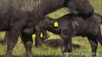 Gleich dreifacher Nachwuchs! Wasserbüffel-Familie in Ronnenberg hat Zuwachs bekommen - Sat.1 Regional