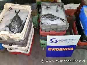 Sernapesca incautó 1,8 toneladas de reineta en Concepción - Mundo Acuícola