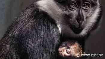 Naissance d'un singe cercopithèque de l'Hoest au zoo de Mulhouse - RTBF