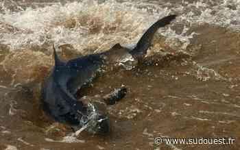 Vidéo. Capbreton (40) : un requin bleu éloigné de la zone de baignade - Sud Ouest