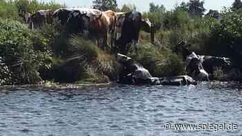 Aurich: Feuerwehr rettet acht Kühe aus Kanal - DER SPIEGEL