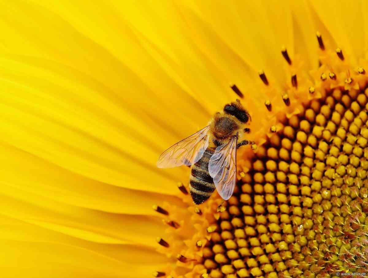 Bienen: Erneuter Ausbruch der Amerikanischen Faulbrut im Westallgäu - all-in.de - Das Allgäu Online!