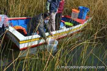 Puno: Minagri siembra 130000 alevinos de mauri en dos islas de la cuenca del Titicaca - Mercados & Regiones