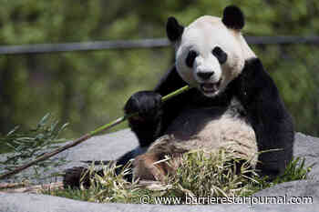 Dwindling B.C. bamboo supply leaves Calgary Zoo biologists worried about pandas - Barriere Star Journal