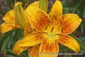 Master Gardener: Stop to smell the roses, er, native honeysuckle - Frederick News Post