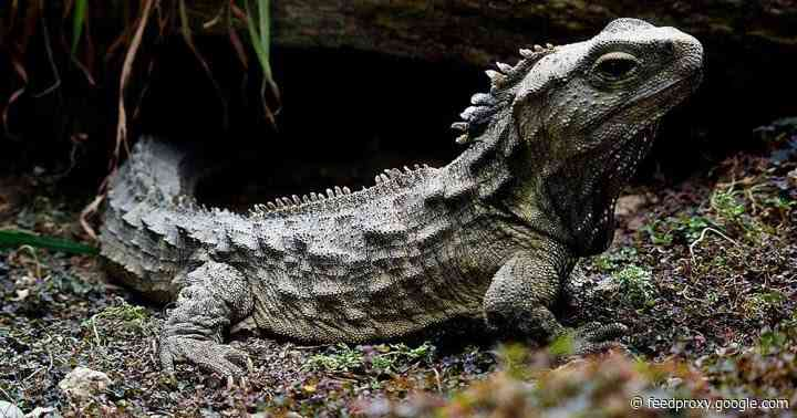 The curious genome of the tuatara, an ancient reptile in peril