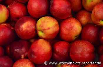 Beim Verein der Garten- und Blumenfreunde in Schifferstadt: Eigenen Apfelsaft pressen - Schifferstadt - Wochenblatt-Reporter