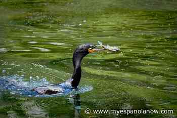 Ontario hosting fall hunt for cormorants - My Eespanola Now