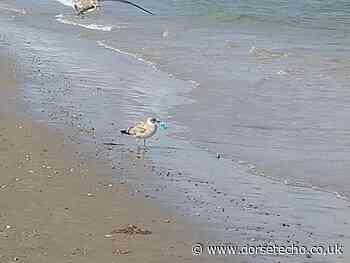 Seagulls fight over face mask on Weymouth beach - Dorset Echo